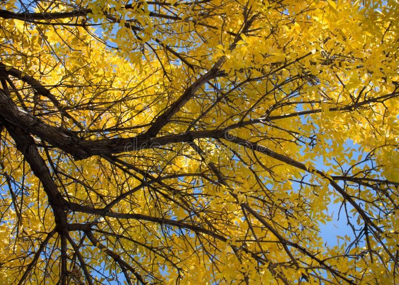 Árvore de olmo da queda com ramo na esquerda fotos de stock royalty free