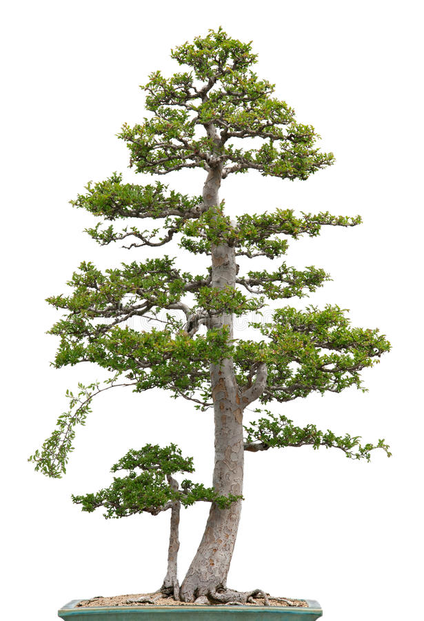 Árvore de olmo elegante dos bonsais no fundo branco fotografia de stock royalty free