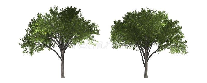 Árvore de olmo isolada no fundo branco com trajeto de grampeamento fotos de stock