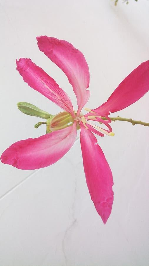 Árvore de orquídea de Hong Kong fotografia de stock royalty free
