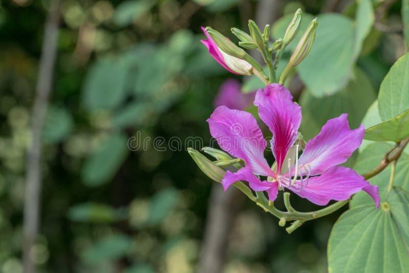 Árvore de orquídea roxa do nome cor-de-rosa bonito da flor, árvore da borboleta no fundo da natureza fotografia de stock