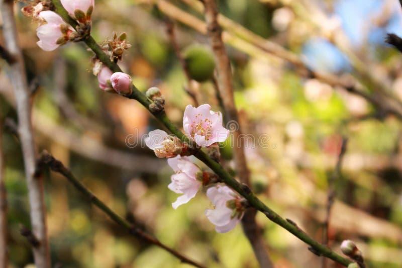 Árvore de pêssego com as flores cor-de-rosa do pêssego imagens de stock