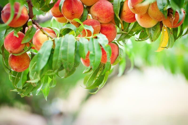 Árvore de pêssego com crescimento de frutos no jardim pomar do pêssego fotos de stock royalty free