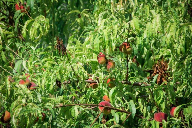 Árvore de pêssego fresca em Mallorca Inca, Mallorca, Espanha imagem de stock royalty free