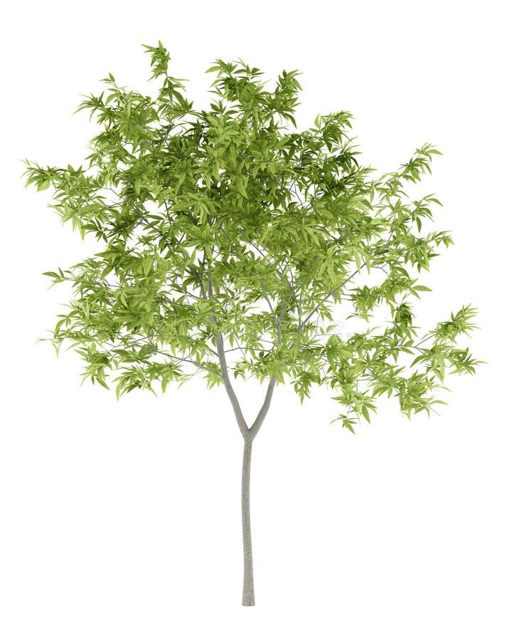 Árvore de pêssego isolada no branco ilustração royalty free