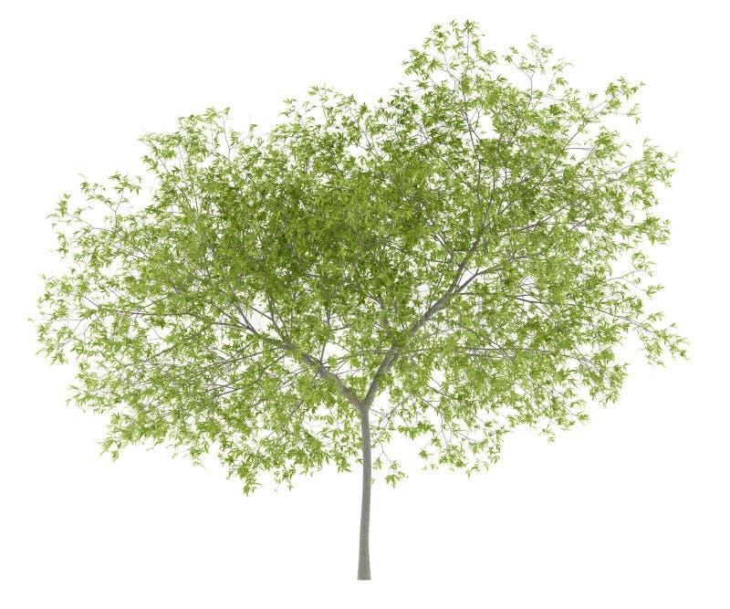 Árvore de pêssego isolada no branco ilustração do vetor