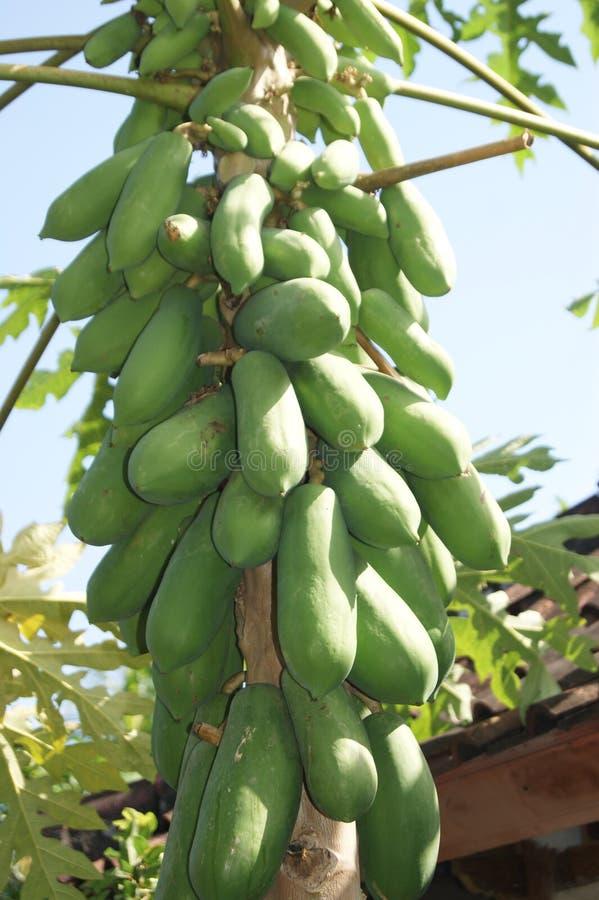 Árvore de papaia em Bali, Indonésia fotos de stock