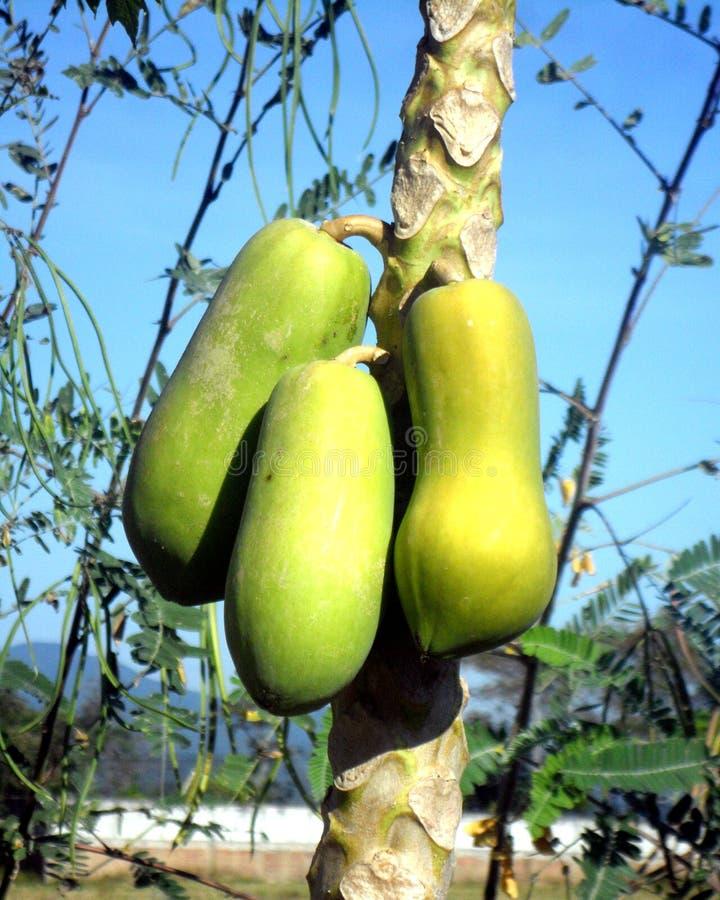 Árvore de papaia de Tailândia imagem de stock