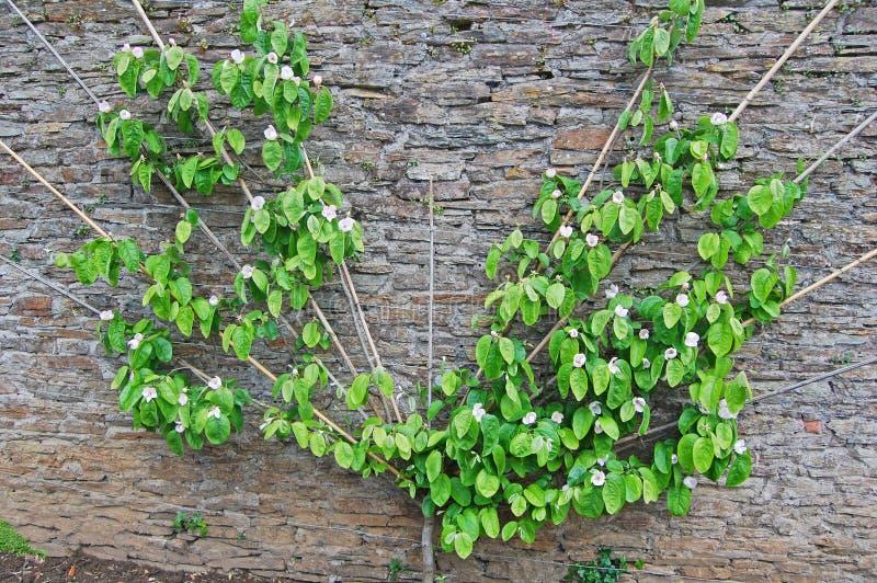 Árvore de pera do ventilador foto de stock royalty free