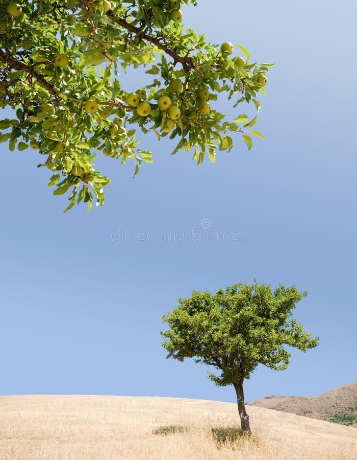 Árvore de pera e frutas de amadurecimento imagem de stock