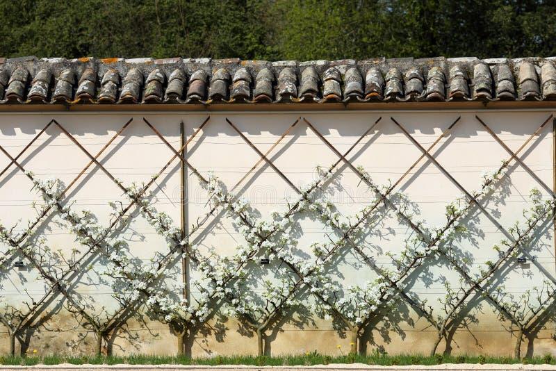 Árvore de pera europeia, Pyrus communis foto de stock