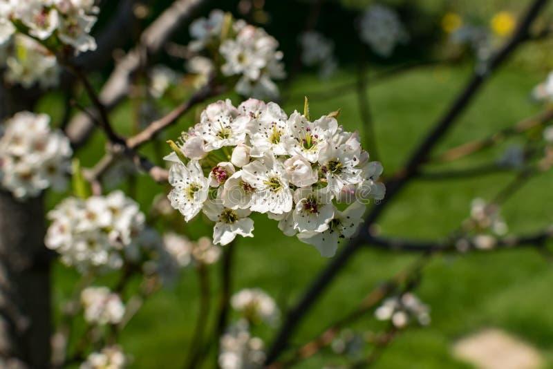Árvore de pera inteiramente florescida fotos de stock