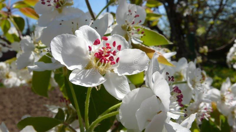 Árvore de pera na mola, flor branca - close-up fotografia de stock