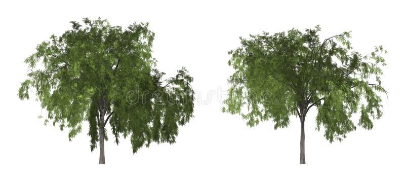 Árvore de pimenta ou de pimenta de Califórnia árvore isolada no fundo branco com trajeto de grampeamento fotografia de stock