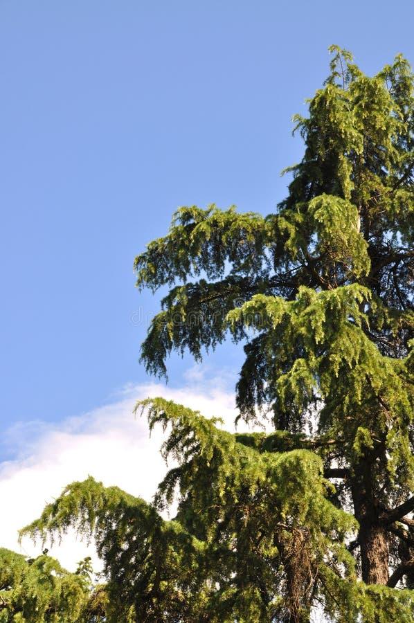 Árvore de pinho foto de stock royalty free