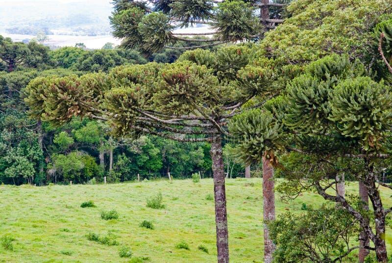 Árvore de pinho da araucária fotos de stock
