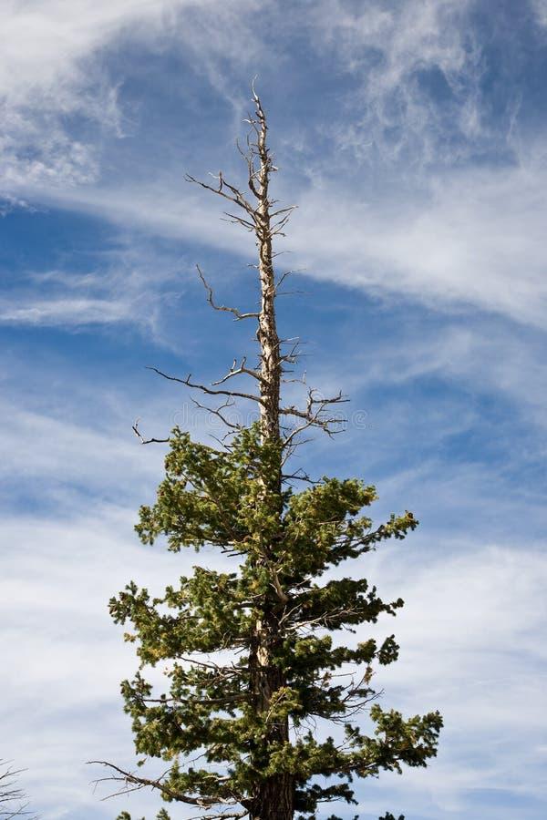Árvore de pinho dessecada imagem de stock