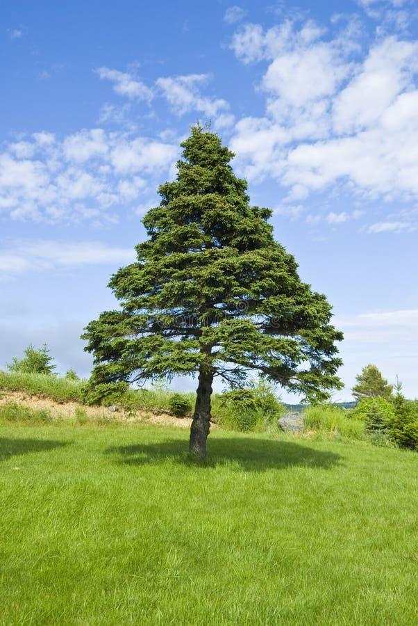 Árvore de pinho e céu azul fotos de stock royalty free