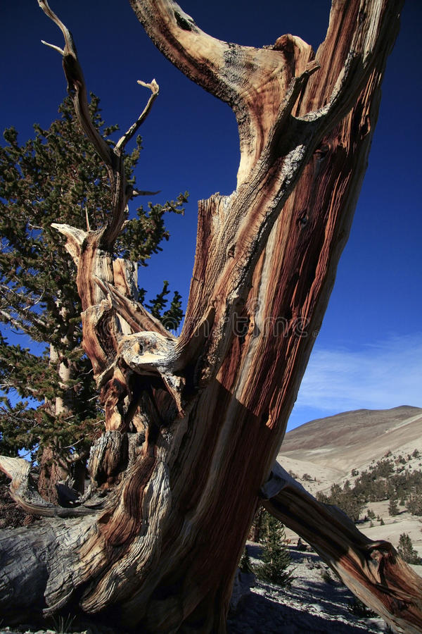 Árvore de pinho Gnarled de Bristlecone foto de stock
