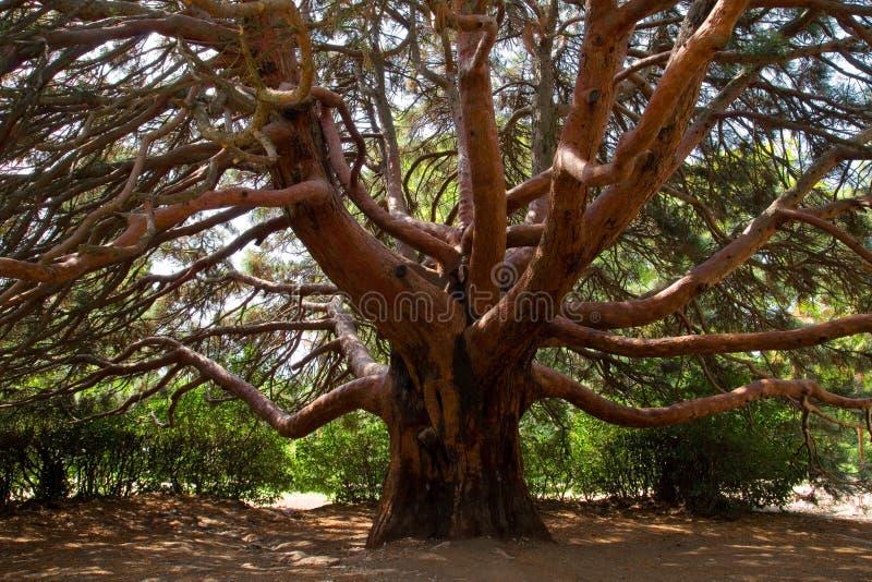 Árvore de pinho grande. fotos de stock