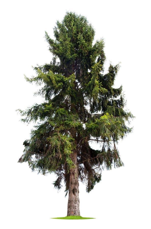 Árvore de pinho isolada fotos de stock royalty free