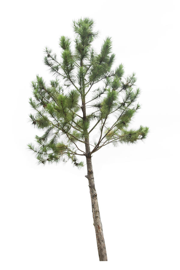 Árvore de pinho isolada foto de stock royalty free