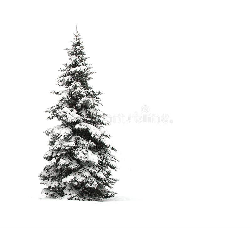 Árvore de pinho isolada no branco foto de stock