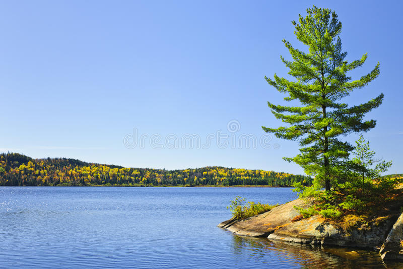 Árvore de pinho na costa do lago imagem de stock