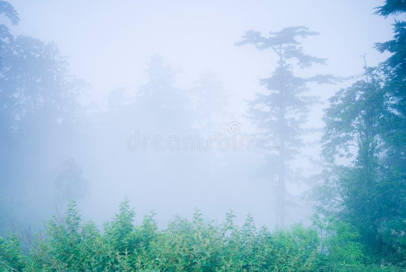 Árvore de pinho na floresta com névoa fotografia de stock