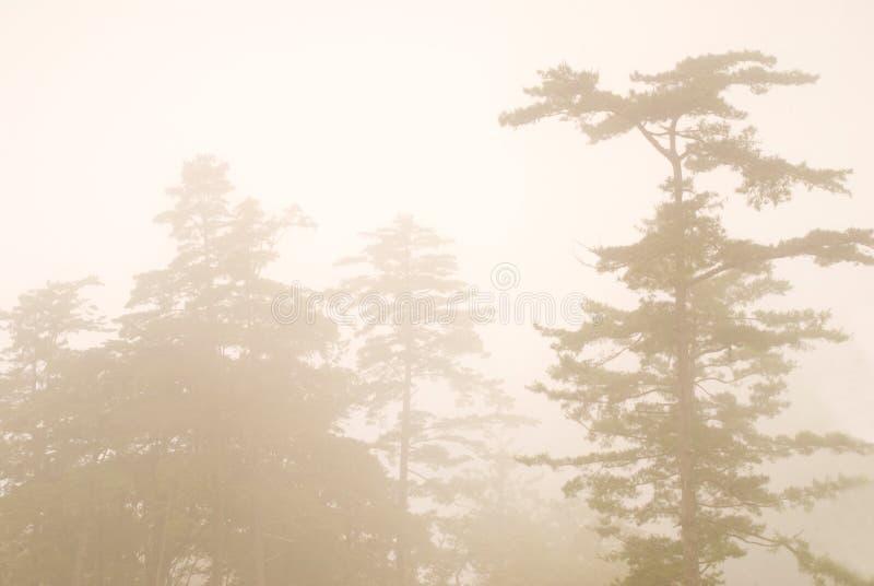 Árvore de pinho na floresta com névoa imagem de stock royalty free