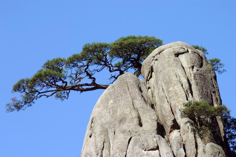 Árvore de pinho na montanha foto de stock royalty free