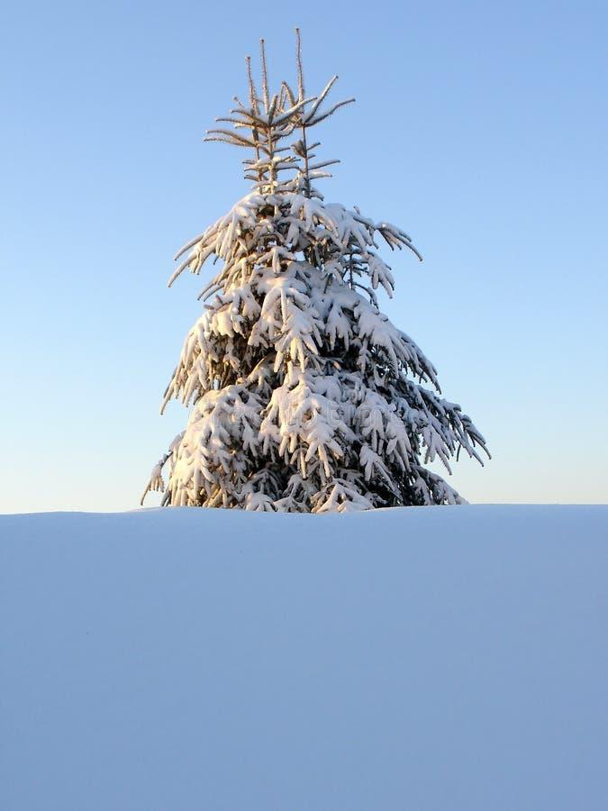 Download Árvore de pinho nevado imagem de stock. Imagem de solitário - 541535