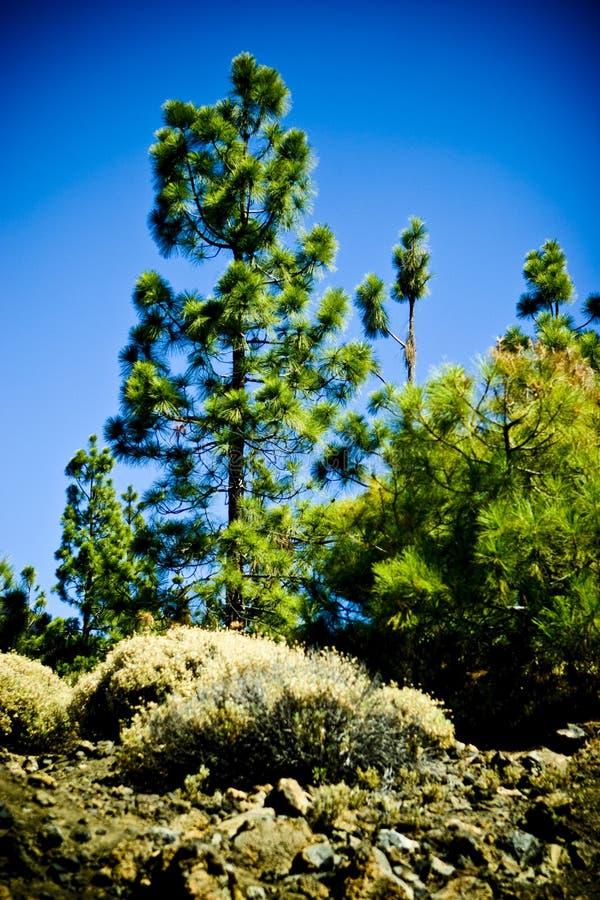 Árvore de pinho nova fotos de stock