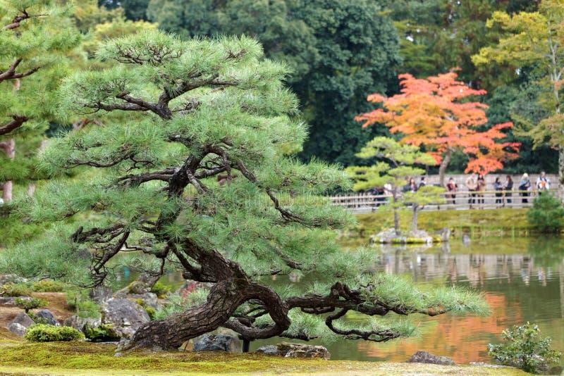 Árvore de pinho torcida imagem de stock royalty free