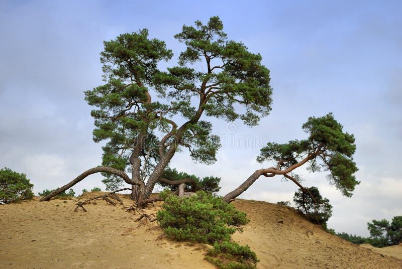 Árvore de pinho velha imagem de stock