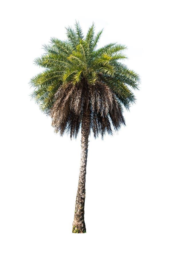 Árvore de Plam isolada no branco imagem de stock royalty free