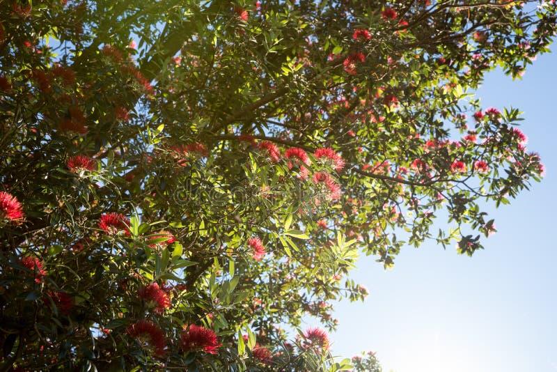 Árvore de Pohutukawa fotos de stock royalty free