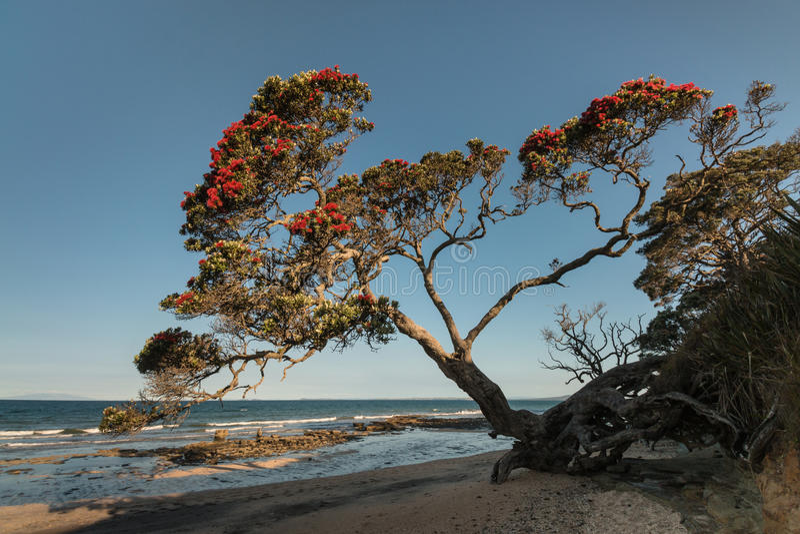Árvore de Pohutukawa que cresce acima da praia em Nova Zelândia foto de stock