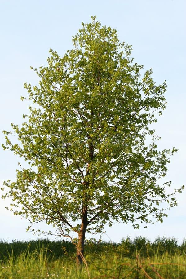 Árvore de Poplar fotos de stock