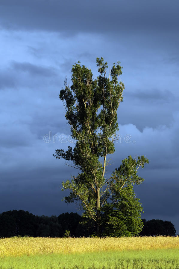 Árvore de Poplar imagem de stock royalty free