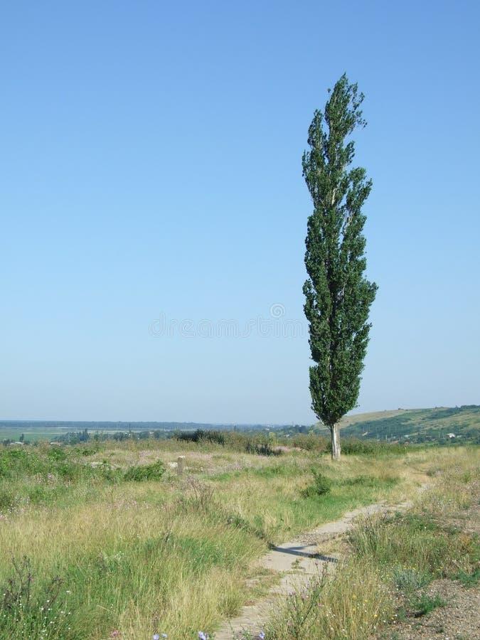 Árvore de Poplar imagem de stock