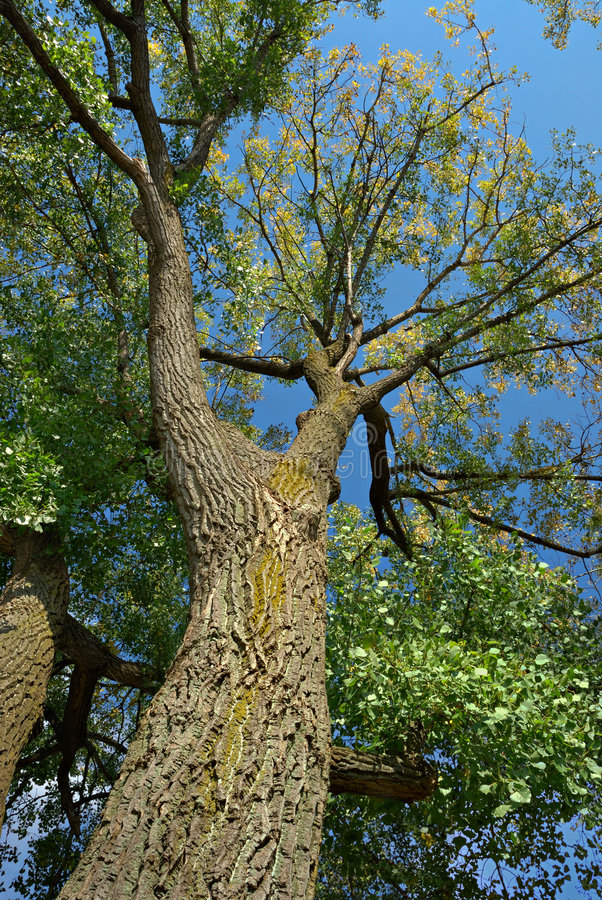 Árvore de Poplar fotografia de stock
