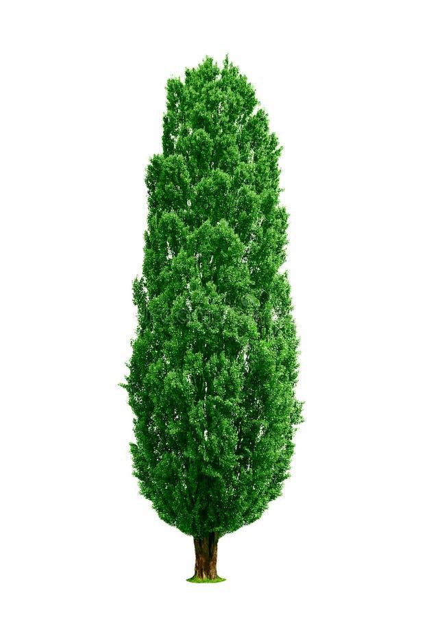 Árvore de Poplar isolada foto de stock royalty free