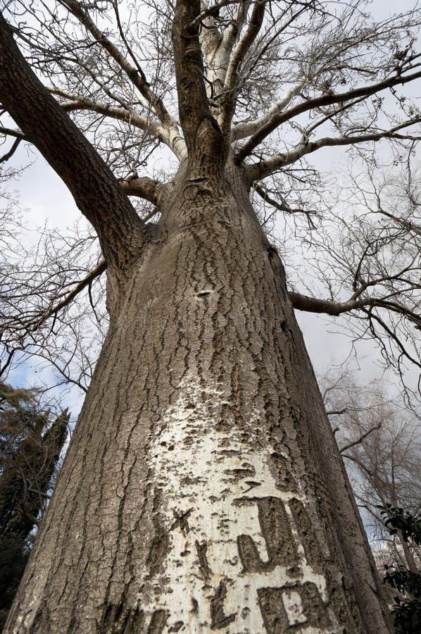 Árvore de Poplar no inverno fotos de stock royalty free