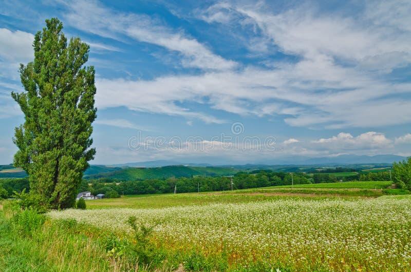 Árvore de poplar solitária entre a paisagem do verão do Hokkaido imagens de stock royalty free