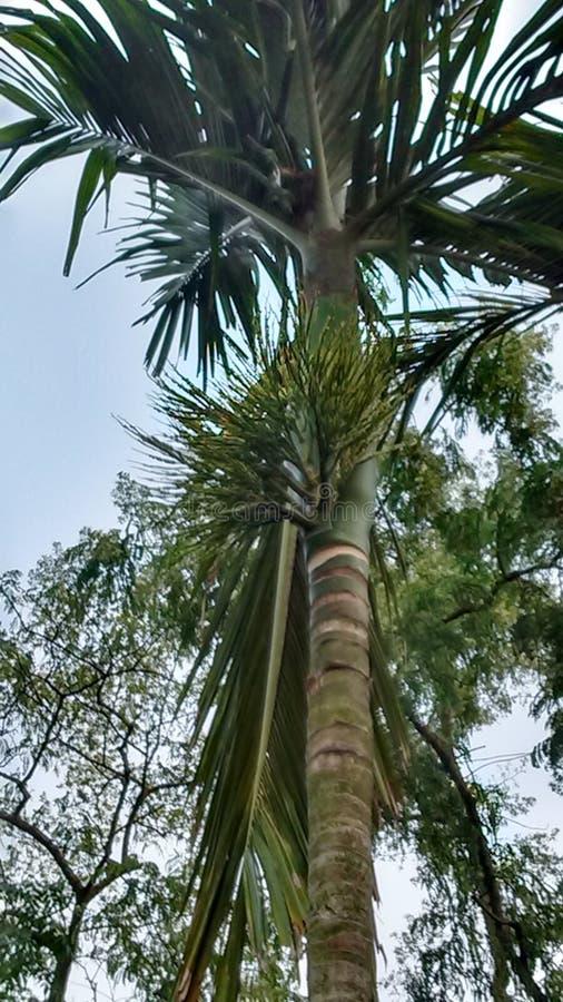 Árvore de porca de Beetel fotos de stock
