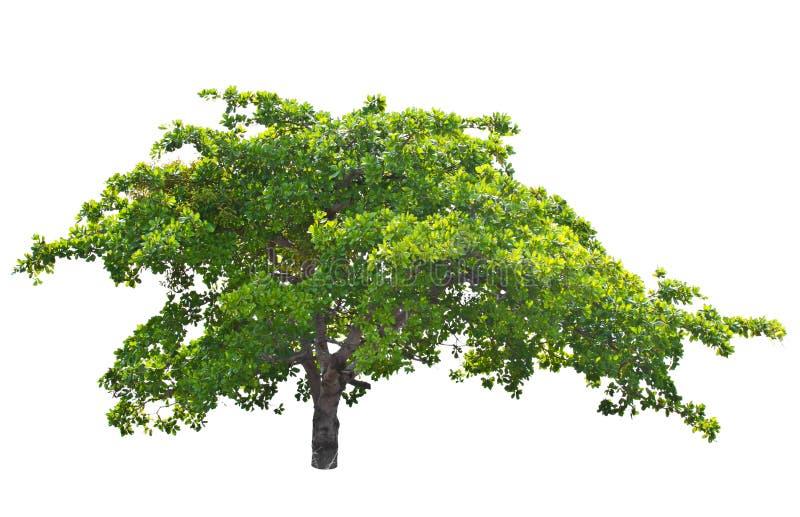 Árvore de porca do caju (occidentale L. do Anacardium). foto de stock royalty free