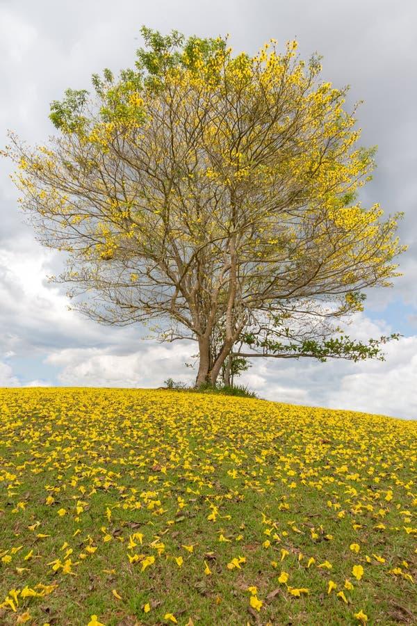Árvore de Poui em um monte e em lotes de flores amarelas imagem de stock