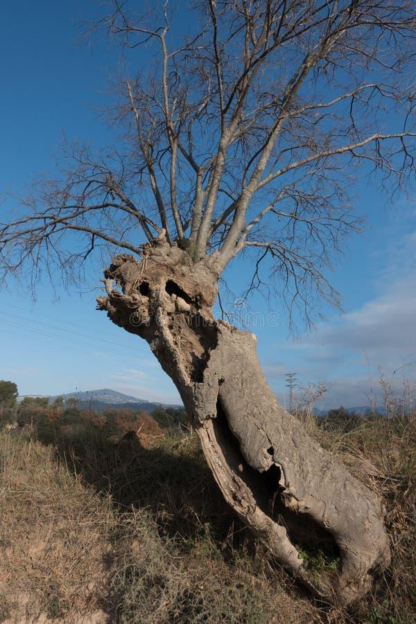 Árvore de provocação quebrada e oca antiga imagem de stock royalty free
