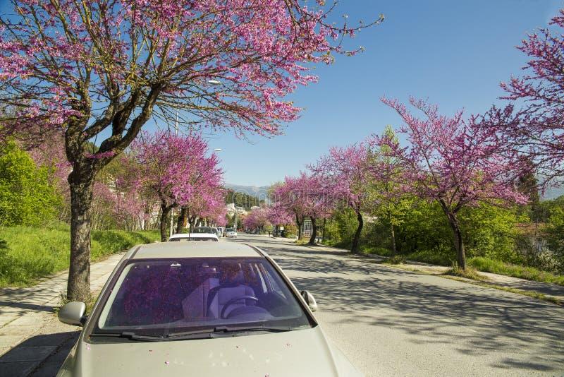 Árvore de Redbud em flores do rosa da mola foto de stock royalty free
